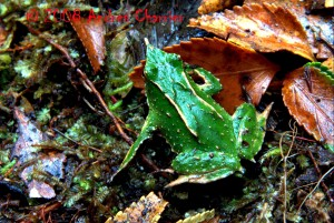 Darwins frogs suffer from habitat loss and emergent infectious disease, such as amphibian chytrid fungus.