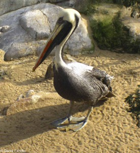 Our neighbor to the east, a Peruvian Pelican, Pelecanus thagus.