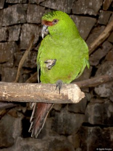 For bird lovers, seeing the endemic Slender-billed Conure (Enicognathus leptorhynchus) was a treat.