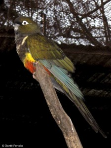 As was the spectacular Burrowing Parrot (Cyanoliseus patagonus).