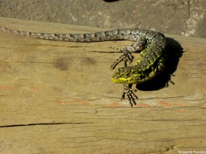 All the cutting and drilling drew the attention of a lizard (Liolaemus tenuis) living by the woodshop.