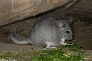 And the noise even woke up a nocturnal Chinchilla.