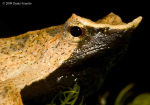 The profile of Darwin's Frogs is truly unique.