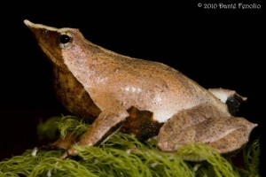"The fleshy appendages on the ""heels"" of Darwin's Frogs are called calcars."