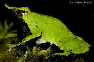 This is the male Darwin's Frog that is holding developing young in his vocal sac.