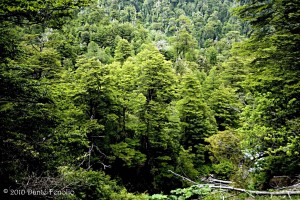 The humid temperate forests of South Chile hold amazing biodiversity.