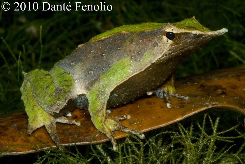 Some individual Darwin's Frogs (Rhinoderma darwinii) have a nice mix of greens with other colors.