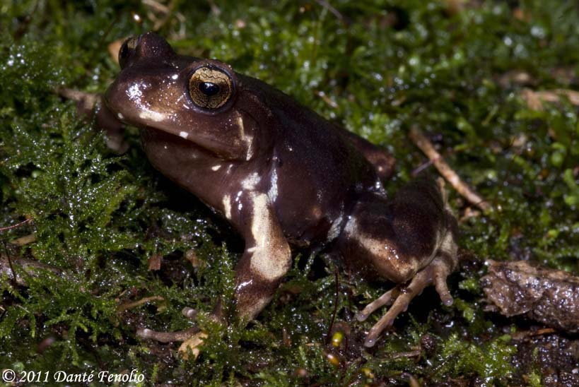 Miguel's Ground Frog (Eupsophus migueli) is know from its type locality Known only from the type locality (Mehuín, Valdivia Province, Chile).
