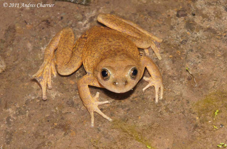 The Mountain Spiny-chest Frog (Alsodes montanus) is found in Central Chile at elevations above 2000m.