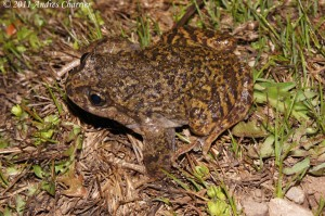 The La Parva Spiny-chest Frog (Alsodes tumultuosus) inhabits a tiny patch of habitat near a ski resort.