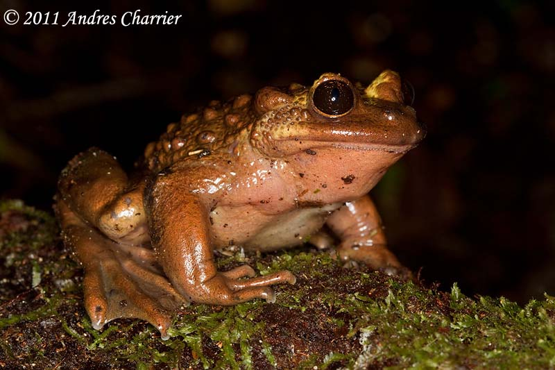 Bullock's Mountains False Toad (Telmatobufo bullocki) is widely considered one of the rarest frogs in Chile.