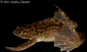 The African Clawed Frog (Xenopus laevis) has been introduced to rivers in Chile.