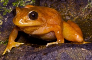 Another beautiful amphibian from Chile's rainforests (Eupsophus altor)