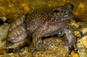 But there still are a few streams that accommodate this beautiful little frog (Insuetophrynus acarpicus)